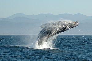 『中国』日本の捕鯨は、非人道的で残忍。